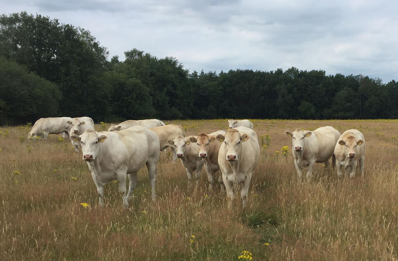 Natuurvlees boerderij Runderen