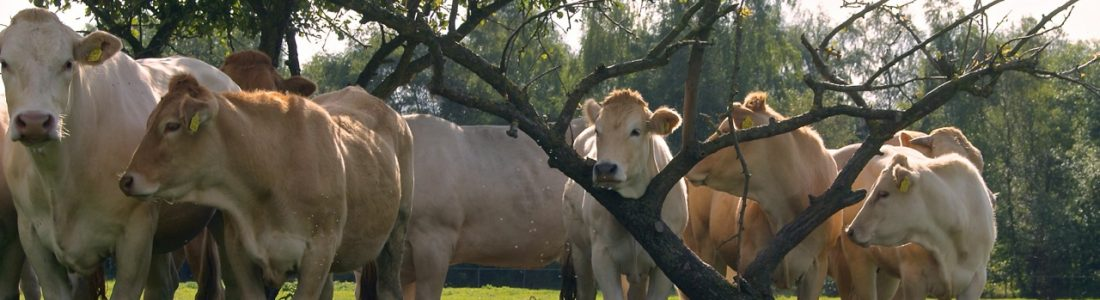 Natuurvlees-Nederland runderen