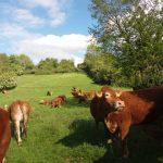 Franssen-Vaessen Natuurvlees boerderij